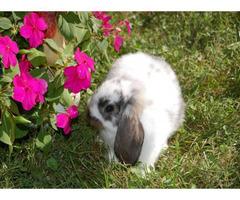 2 Full blooded Mini Lop bunny rabbits
