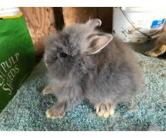 Colorful 8 weeks old lionhead buck bunnies for sale
