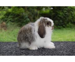 Three beautiful baby Holland Lop bunnies left