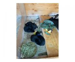 5 New Zealand bunnies available