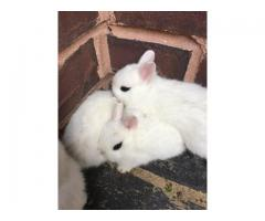 Adorable dwarf hotot bunnies ready to be rehomed