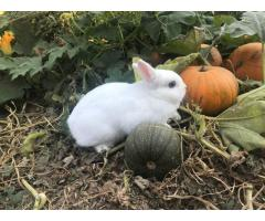 Netherland Dwarf doe in need of a new home