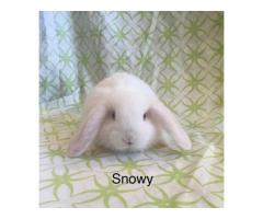 3 beautiful Minilop bunny rabbits for sale