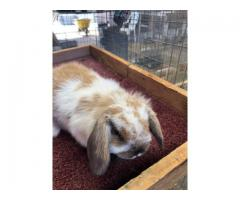 2 Purebred Holland lop bunnies