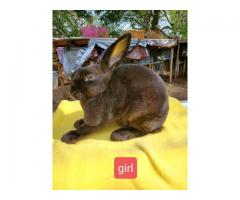 2 age groups super cute sweet minirex bunnies