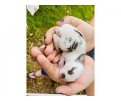 Holland mix Netherland Baby bunnies for adoption