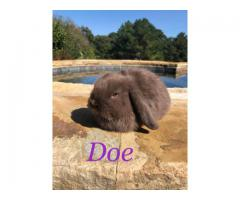 Purebred Chocolate Holland Lop Baby Bunnies