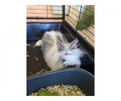 Lion head bunny with cage for sale