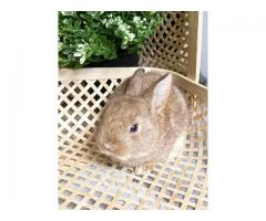 Netherland Dwarf bunnies available for adoption