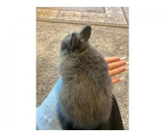 2 purebred netherland dwarf bunnies for sale