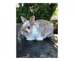 14 week old purebred Netherland dwarf bunnies for sale