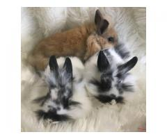Purebred lionhead bunnies ready to go