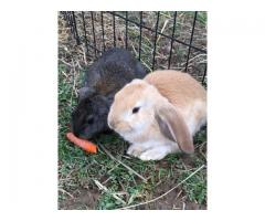 7 cute English Lop mix bunnies for sale