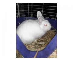 2 beautiful lionhead bunnies looking for new homes