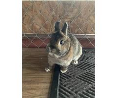 Netherland Dwarf rabbits available