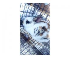 3 Mini Rex bunnies for sale