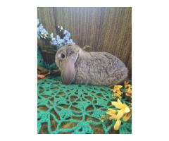 Mini Lop bunnies for sale