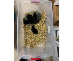 1 month old Purebred Netherland Dwarf Bunnies