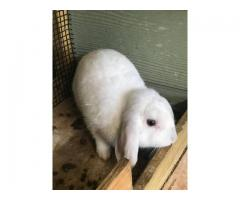2 months old Holland lop bunny rabbits for sale