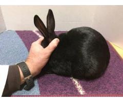 White and Black New Zealand rabbits bucks and does