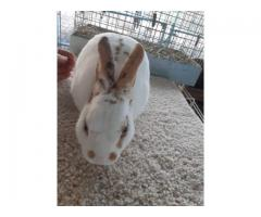 9 months old tri color mini rex bunny rabbit