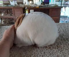 9 months old tri color mini rex bunny rabbit