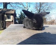 1 black mini holland lop bunny for sale