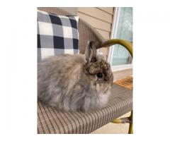 4 month old male Jersey Wooly rabbit