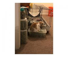 Adorable 5 months old Holland Lop bunny for sale