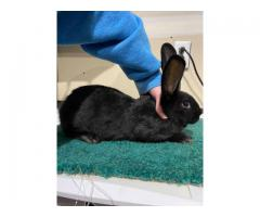 8 week old Flemish giant bunnies