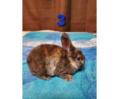 5 beautiful Mini Rex baby bunnies for sale