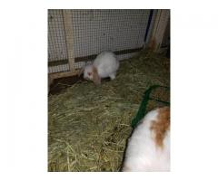 2 eight weeks old Holland Lops baby bunnies for sale,