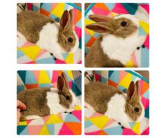 Dutch Blue Eyed Doe Rabbit