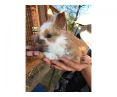 4 French Angora baby bunnies for sale
