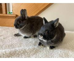 2 Purebreed Netherland Dwarf bunnies for sale