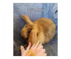 9 weeks old Mini lop bunny for sale