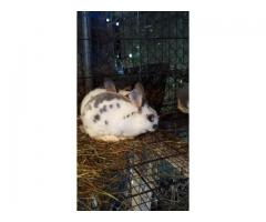 Standard Size Rex Rabbits for Sale