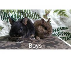 Very sweet, full blood Netherland dwarf bunnies