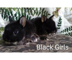 Very sweet, full blood Netherland dwarf bunnies
