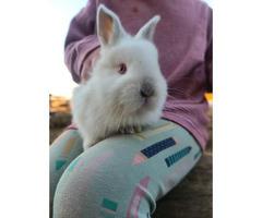 Purebred Netherlands bunnies for sale