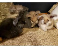 English Angora bunnies for sale