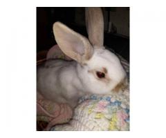Mini Rex Bunnies Just in time for Easter