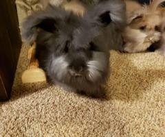English Angora bunnies for sale