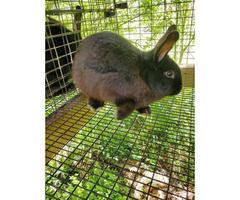 4 black Silver Fox bucks bunnies