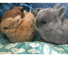 3 Netherland dwarf bunnies looking for homes