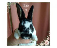 3 Mini Rex does up for adoption