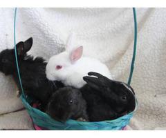 Baby Dutch Bunnies