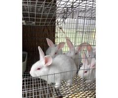 Beautiful litter of New Zealand bunnies