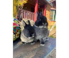 2 female purebred Netherland Dwarf Bunnies