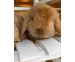 4 brown 3 white mini lop bunnies